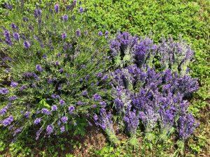 horsescents homegrown lavender